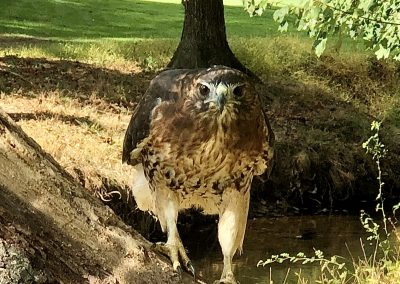 Red-tailed_hawk_in_woods